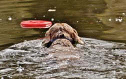 epagneul breton nage